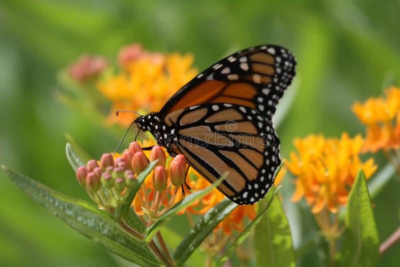 Monarchfalter - Schmetterlingsunkraut stockfoto