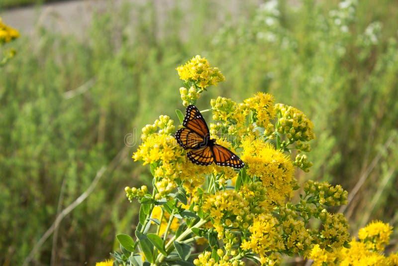Monarchfalter und Biene stockfotos