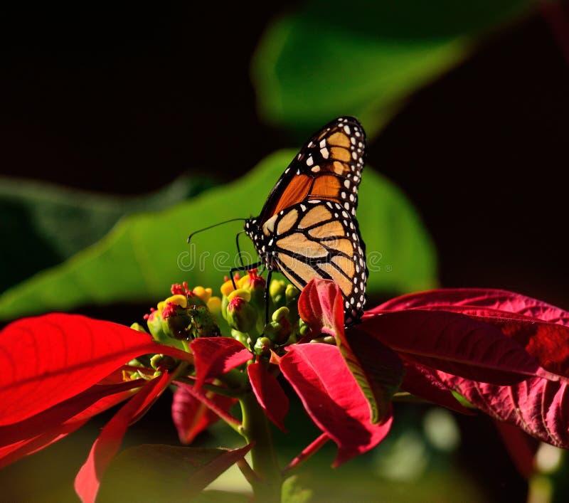 Monarchfalter und bunte Poinsettia lizenzfreies stockfoto
