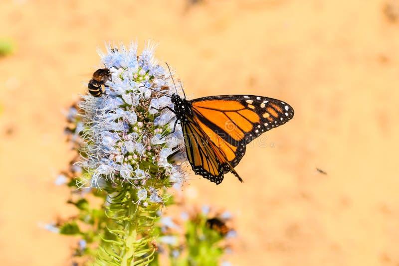 Monarchfalter und mit einem Band versehene Biene auf purpurroter Blume des Echium lizenzfreie stockfotografie