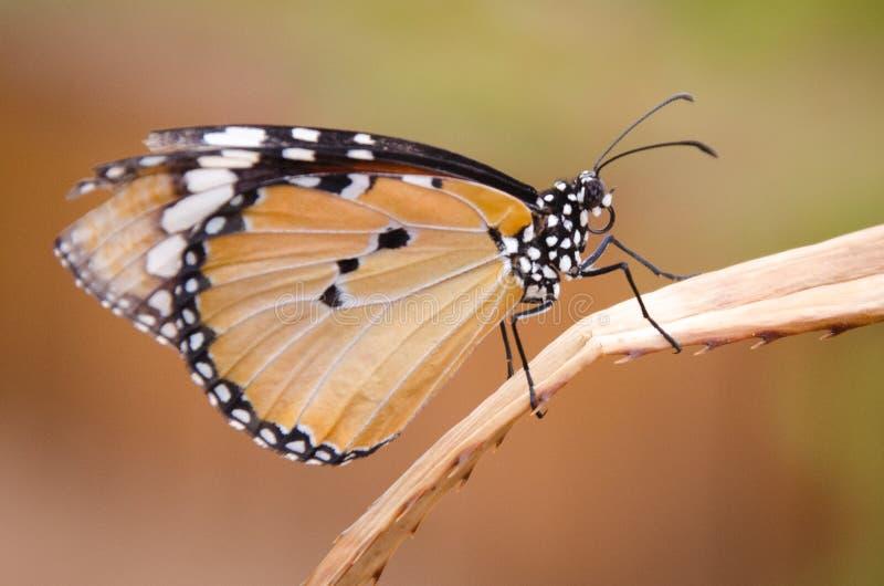 Monarchfalterstellung auf einem trockenen Blatt stockfotos