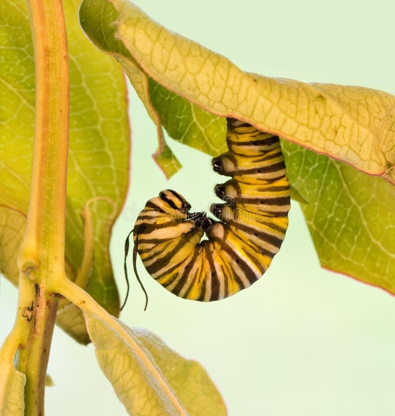 Monarchgleiskettenfahrzeug, das in der J-Bildung kurz vor pupation hängt lizenzfreie stockbilder