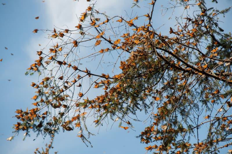 Monarchicznego motyla biosfery rezerwa, Michoacan (Meksyk) fotografia royalty free