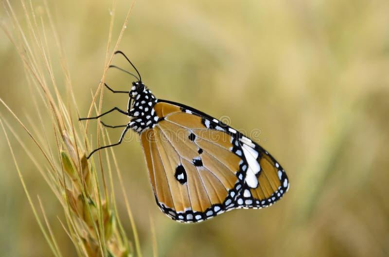 Monarchicznego motyla boczny widok zdjęcie stock