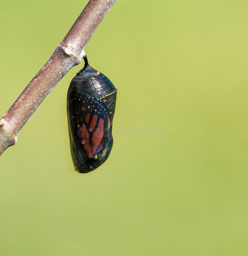 Monarchicznego motyla chryzalida obraz royalty free