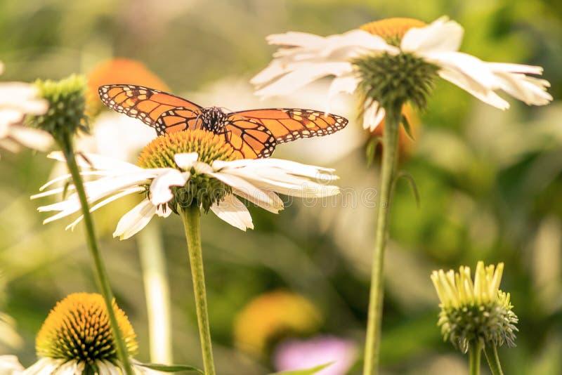 Monarchicznego motyla lądowanie w białym kwiacie zdjęcia stock