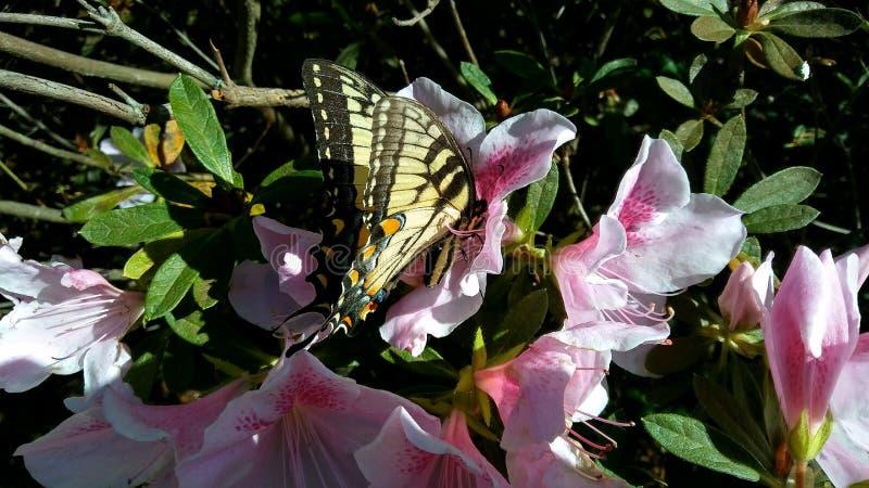 Monarchicznego motyla sen zdjęcia royalty free