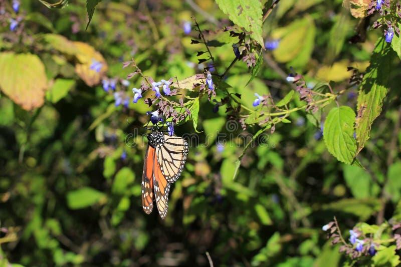 Monarchiczni motyle, Michoacan, Meksyk obraz royalty free