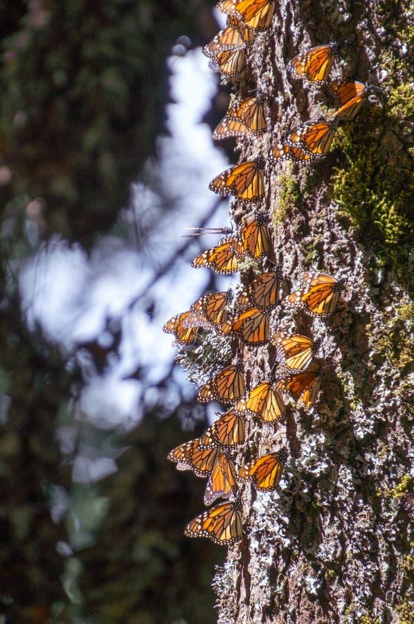 Monarchiczni motyle na drzewnym bagażniku zdjęcia royalty free