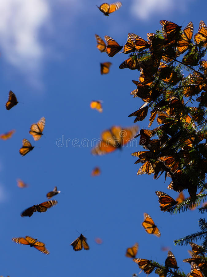 Monarchiczni motyle na gałąź w niebieskiego nieba tle zdjęcia stock