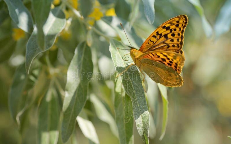 Monarchiczni motyle na wierzbie obrazy stock