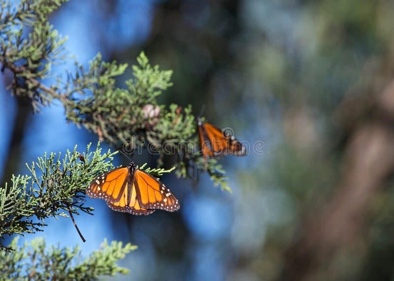 Monarchiczni motyle odpoczywa na wiecznozielonej gałąź fotografia royalty free