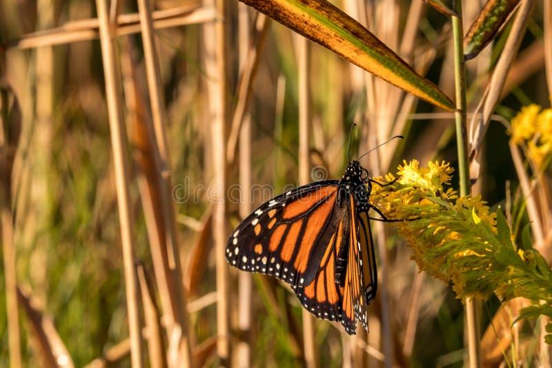 Monarchiczny królewiątko motyle zdjęcia royalty free