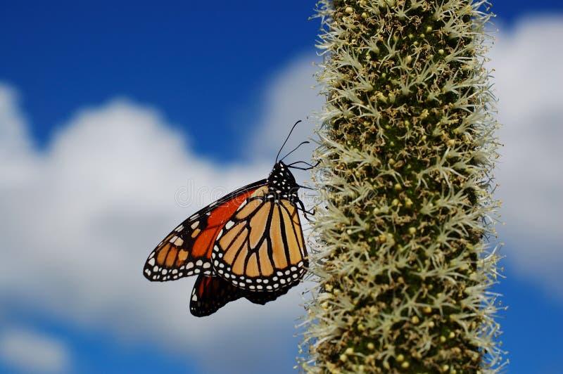 Download Monarchiczny motyl obraz stock. Obraz złożonej z biodiversity - 53779921