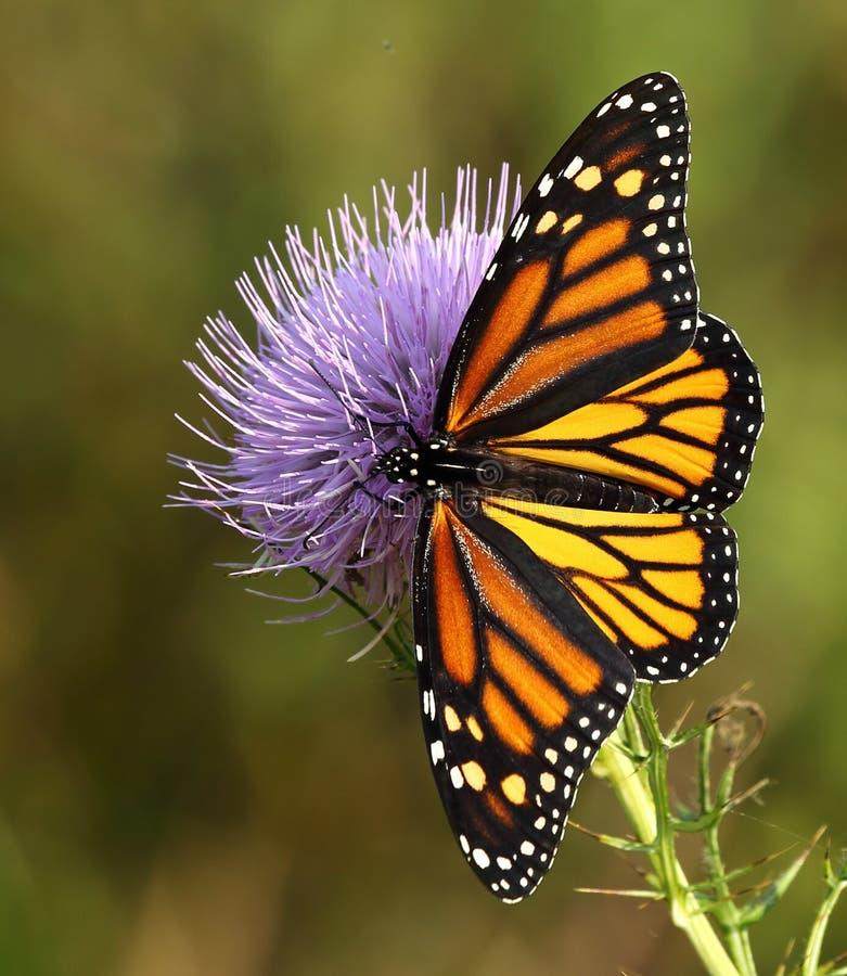 Monarchiczny motyl fotografia royalty free