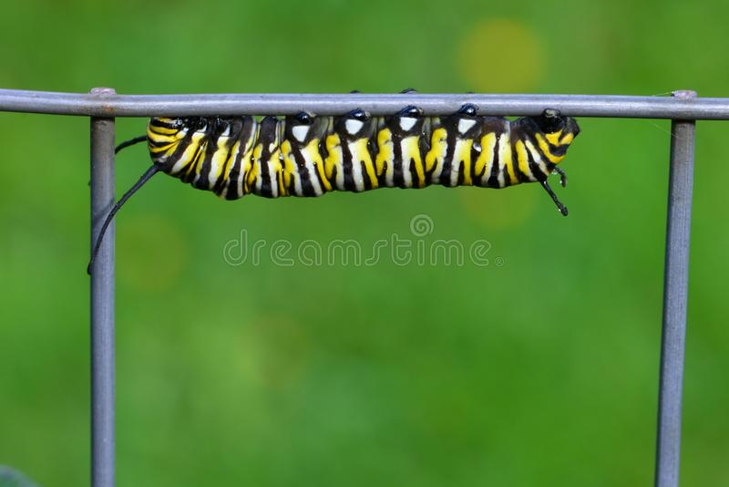 Monarchiczny motyl Caterpillar fotografia stock