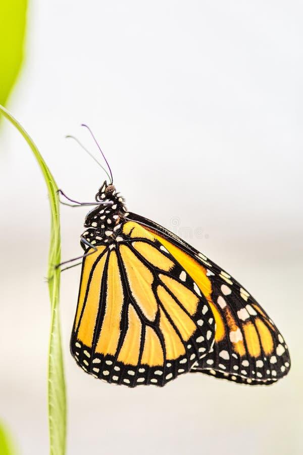 Monarchiczny motyl (Danaus plexippus) fotografia royalty free