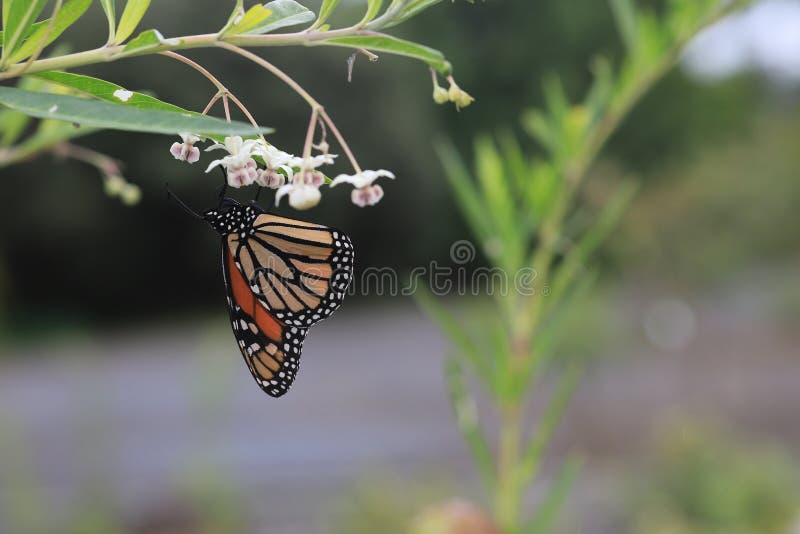 Monarchiczny motyl lub po prostu jest trojeści motylem w rodzinnym Nymphalidae monarcha obrazy royalty free