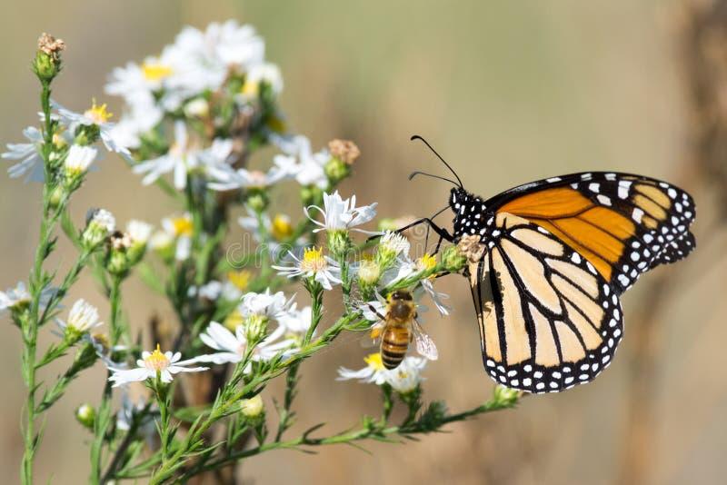 Monarchiczny motyl, Miodowa pszczoła i Biali kwiaty, zdjęcia stock