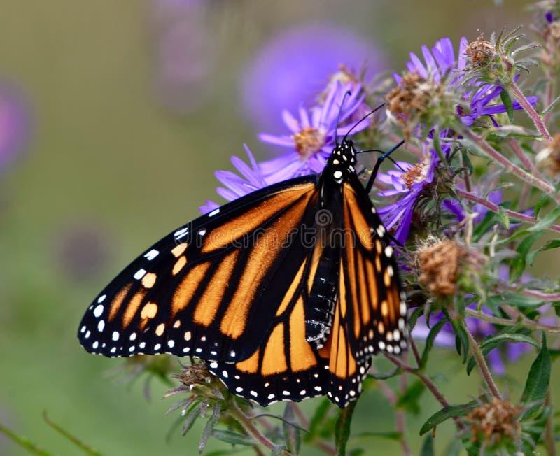 Monarchiczny motyl na asterów kwiatach zdjęcia royalty free