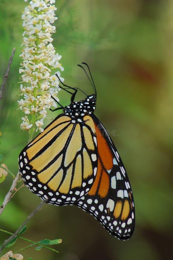 Monarchiczny motyl na białym kwiacie fotografia royalty free