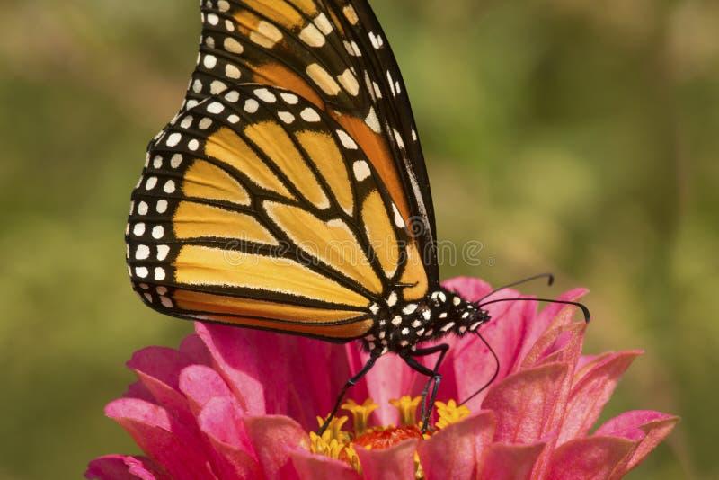 Monarchiczny motyl na dalia kwiacie w Connecticut zdjęcia stock