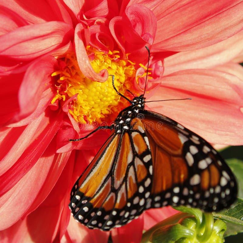 Monarchiczny motyl na dalii obraz stock