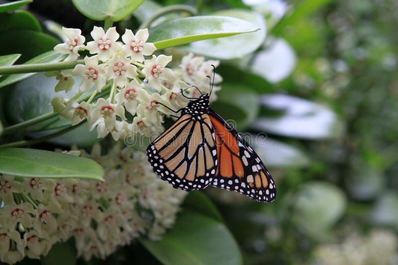 Monarchiczny motyl na Hoya kwiatach zdjęcie stock
