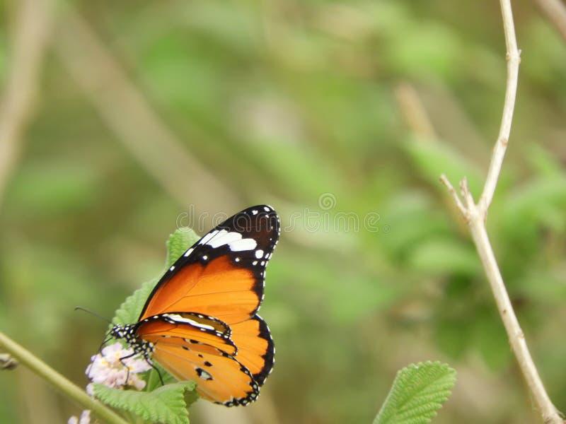 Monarchiczny motyl na lantana camara obraz royalty free