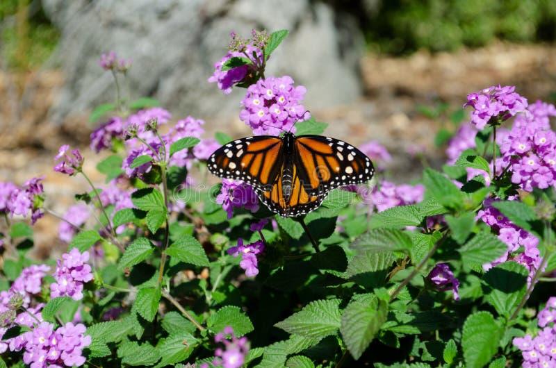 Monarchiczny motyl odpoczywa na kwiacie fotografia stock