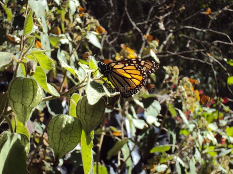 Monarchiczny motyl odpoczywa od swój długiej podróży Meksyk fotografia royalty free