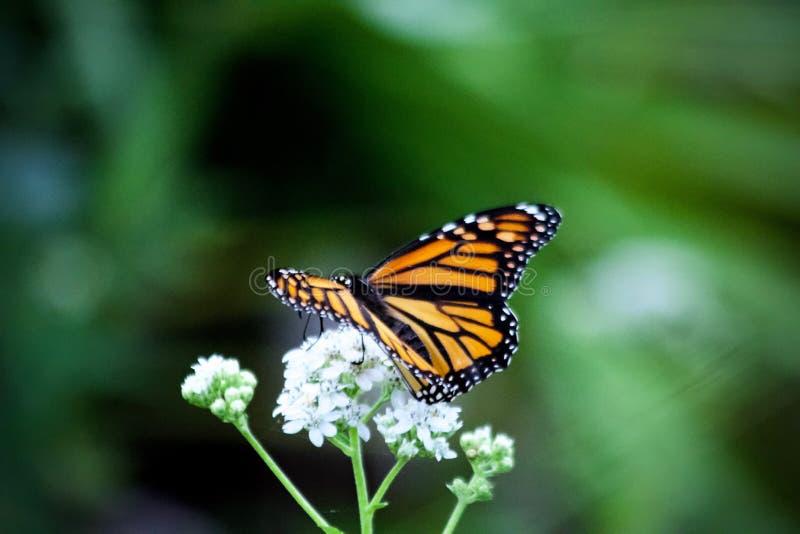 Monarchiczny motyl pije nektar od białych kwiatów obrazy stock