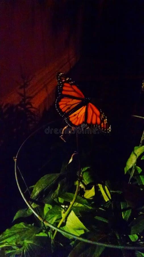 Monarchiczny motyl przy nocą zdjęcia royalty free