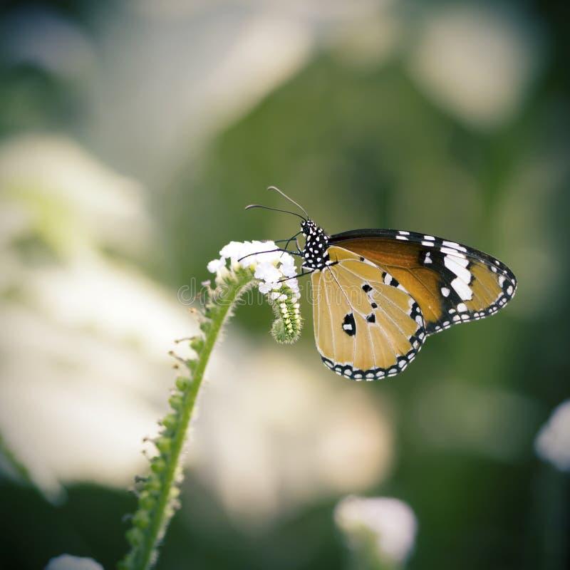 Monarchiczny motyl szuka nektar na kwiacie obrazy royalty free