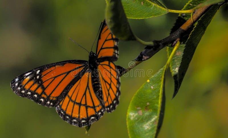 Monarchiczny motyl, Toronto, Ontario, Kanada fotografia royalty free