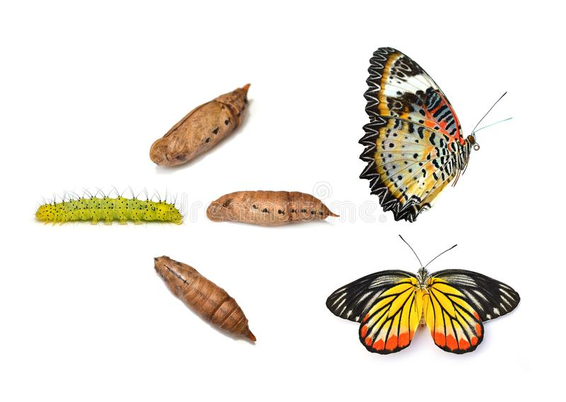 Monarchiczny motyl wyłania się od chryzalidy, osiem scen isolate fotografia stock