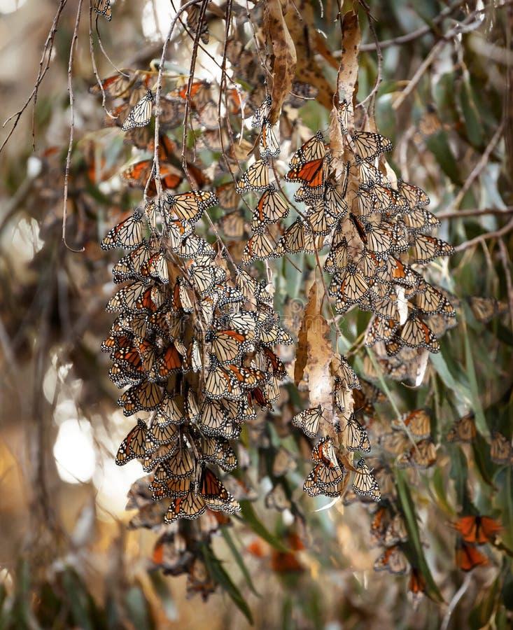 Monarchicznych motyli Eilwood Przesiedleńcze mesy Goleta Kalifornia fotografia stock