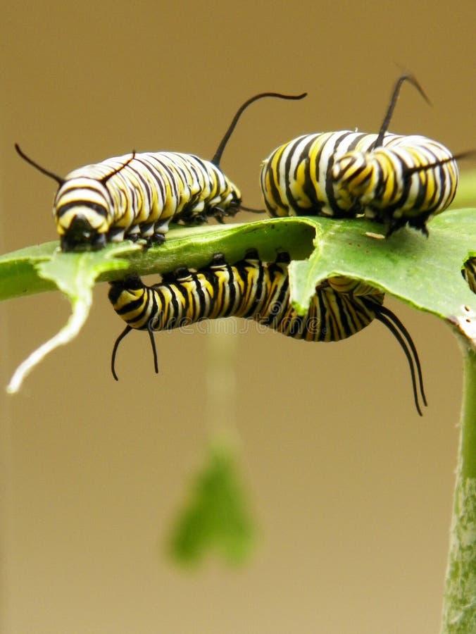 Monarchrupsbanden royalty-vrije stock fotografie