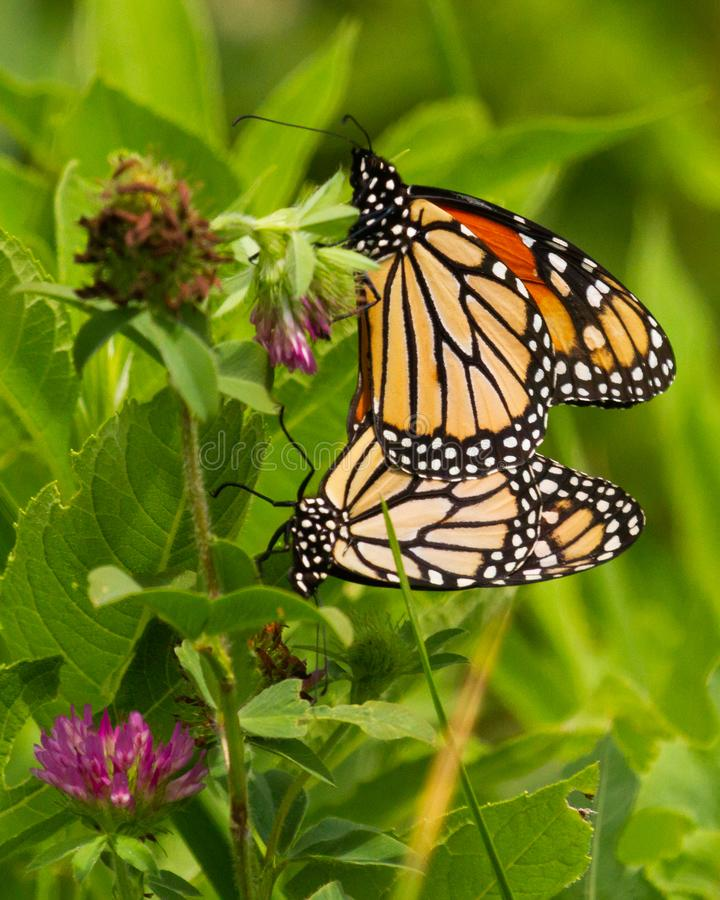 Monarchs Mating in a Clover Field stock photography