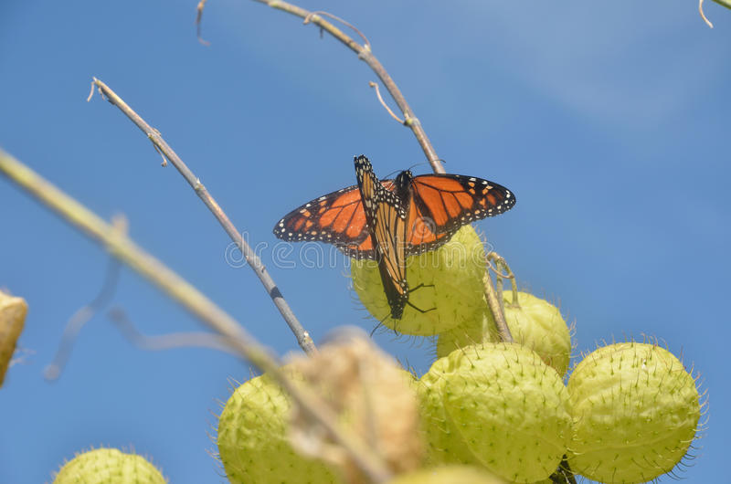 Monarchs mating stock images
