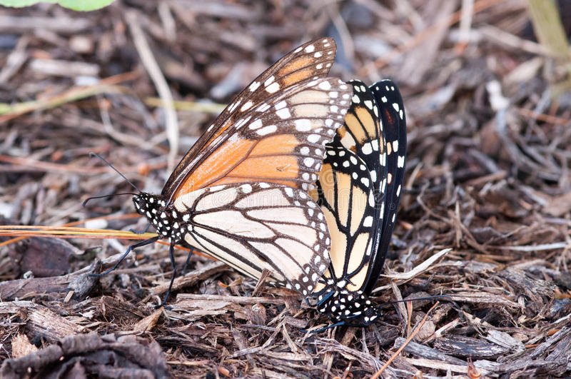 Monarchs mating stock photography