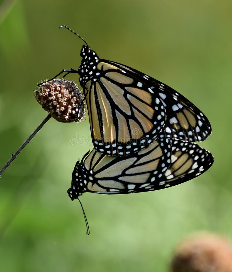 Monarchs Mating royalty free stock images