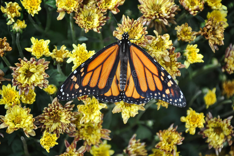 Monarchvlinder stock foto's
