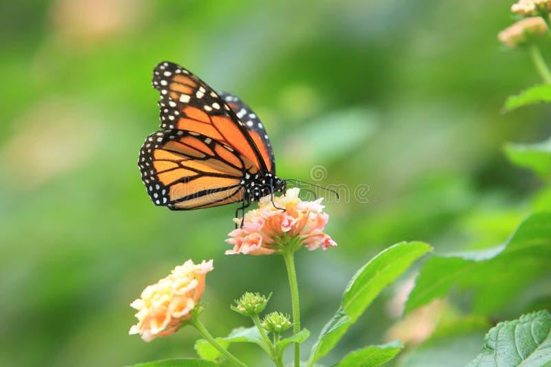 Monarchvlinder royalty-vrije stock afbeelding