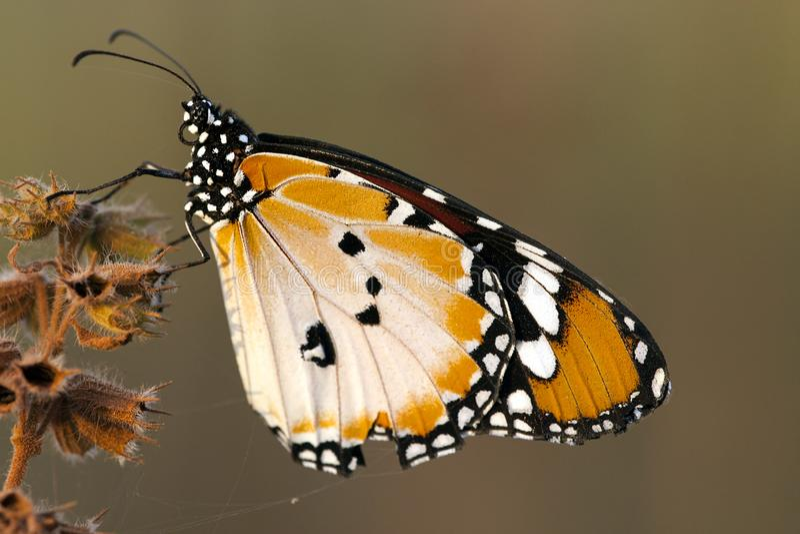 Monarchvlinder de Kleine, monarca africano, chrysippus do Danaus imagem de stock royalty free