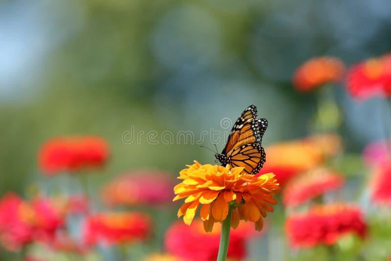 Monarchvlinder in de tuin stock afbeelding