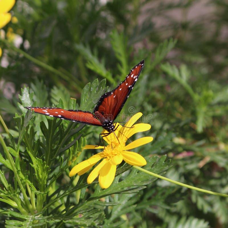 Monarchvlinder in de woestijn stock afbeeldingen