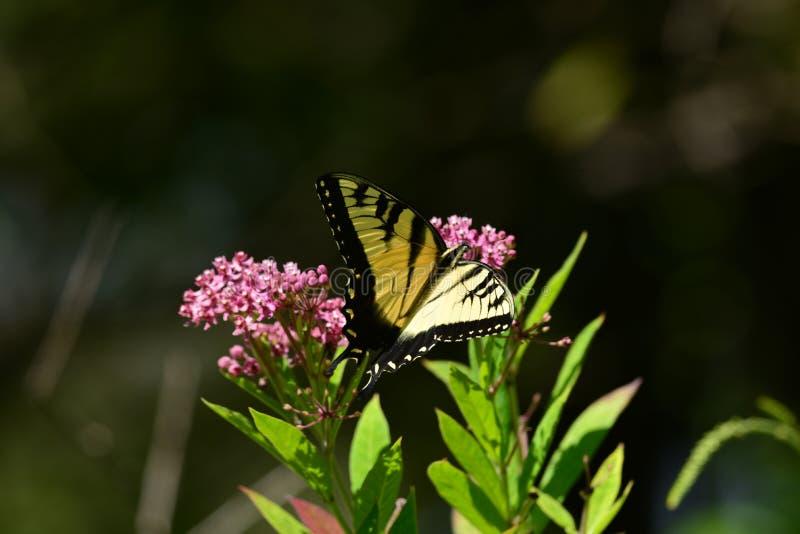 Monarchvlinder die op bloem rusten stock afbeeldingen