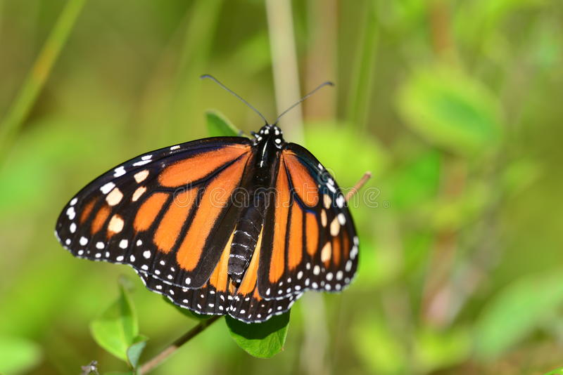 Monarchvlinder die op tak rusten stock foto