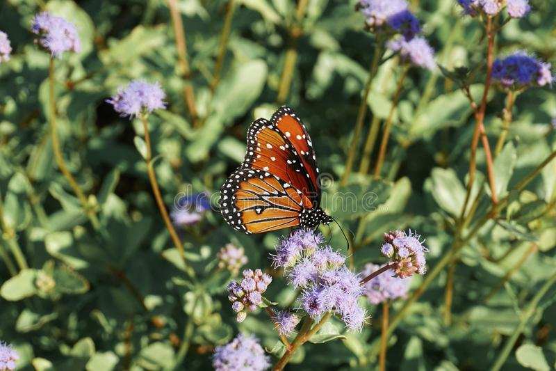 Monarchvlinder die Vlinderdingen doen stock fotografie